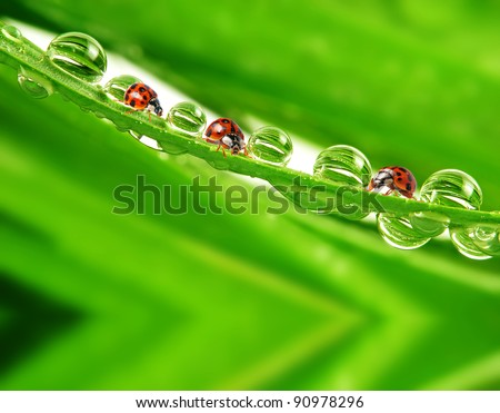 ladybirds on leaf with water drops - stock photo