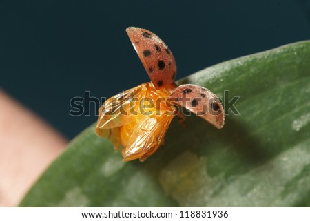 Ladybug - about to fly - stock photo