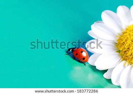 Ladybug and chamomile flower summer. - stock photo