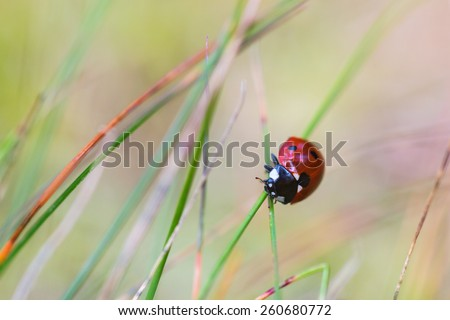 Ladybug climbing on a grass straw - stock photo