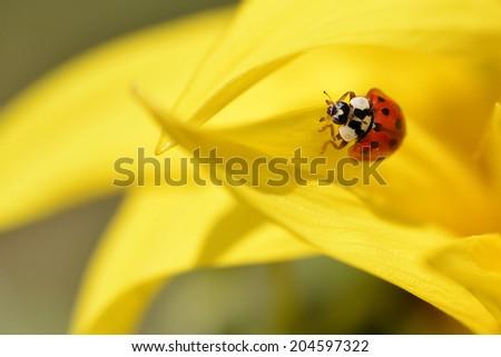 Ladybug (Coccinella) on yellow sunflower petal - stock photo