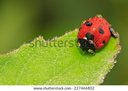 Ladybug covered with the dew - stock photo