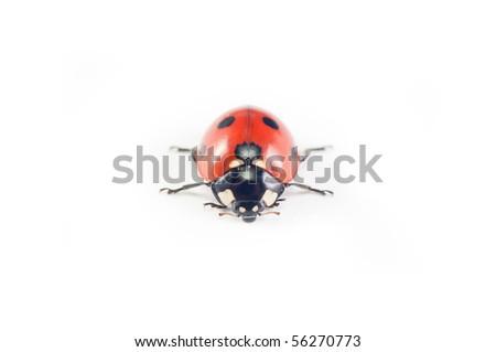 Ladybug crawling isolated on white background - stock photo
