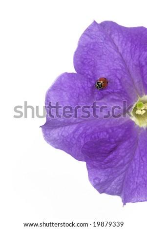 Ladybug (Hippodamia convergens) and Petunia flower - stock photo