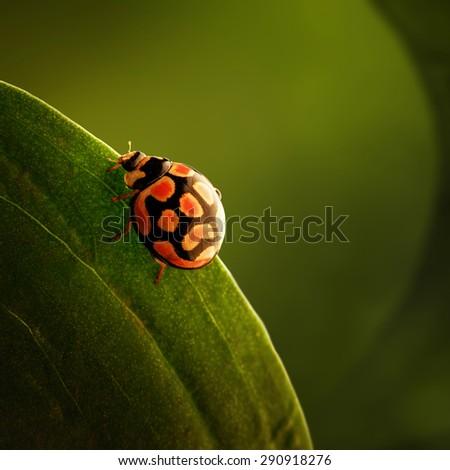 Ladybug (ladybird) crawling on the edge of a green leaf - stock photo