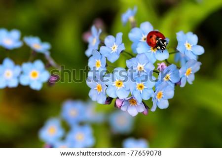 ladybug, ladybird on forget me not flowers - stock photo
