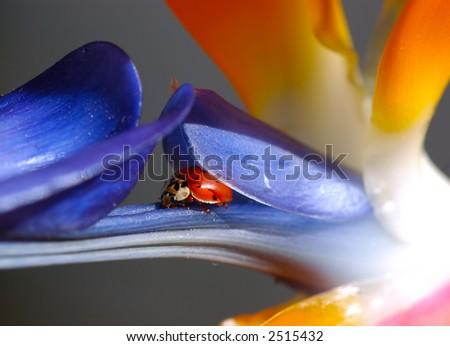 Ladybug Nestled Into Bird of Paradise - stock photo