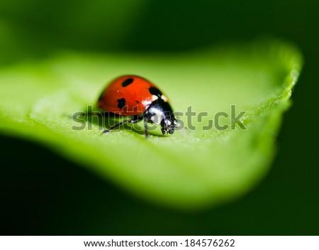 Ladybug on a leaf. Beautiful nature  - stock photo