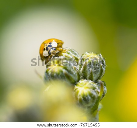 Ladybug on flower / shallow depth of field with blurred background / - stock photo
