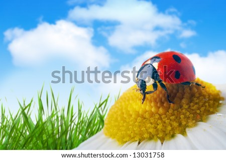 ladybug on flower under blue sky with clouds - stock photo