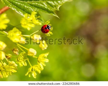 ladybug on flowers of linden wood - stock photo