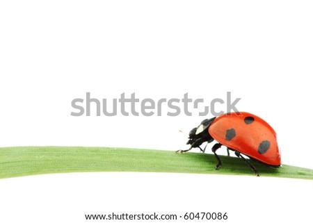 ladybug on grass - stock photo