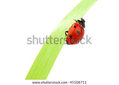 ladybug on grass isolated - stock photo