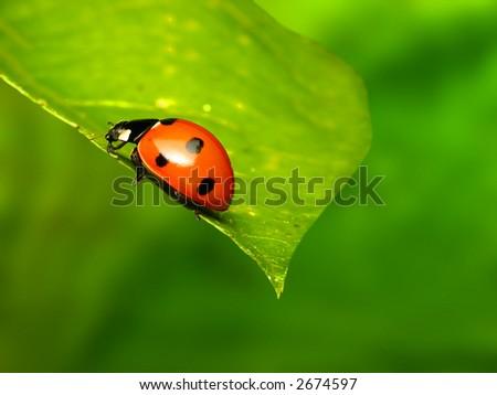 Ladybug on green leaf - stock photo