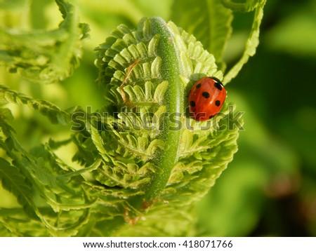 Ladybug on leaf fern close-up - stock photo