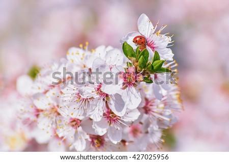 Ladybug on the Flowering Plum (Shallow DoF) - stock photo