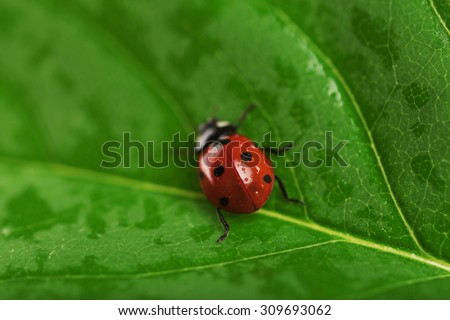 Ladybug on wet green leaf background - stock photo