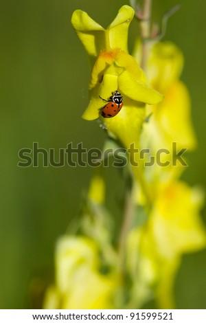 Ladybug on Yellow Flower - stock photo