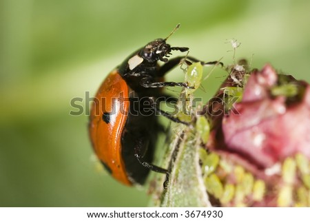 Ladybug picking up an aphid - stock photo