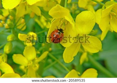 ladybug, rapeseed - stock photo