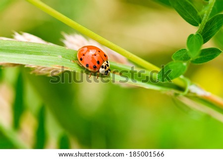 ladybug resting on a plant in summertime  - stock photo