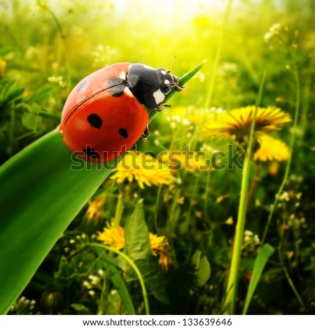 Ladybug sunlight on the field - stock photo