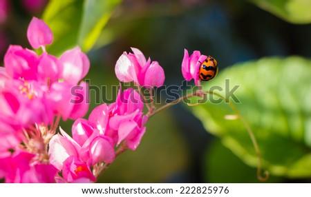 ladybug with pink flower - stock photo