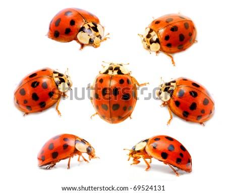 Ladybugs (Coccinella septempunctata) on a white background. Macro shot with shallow dof. - stock photo
