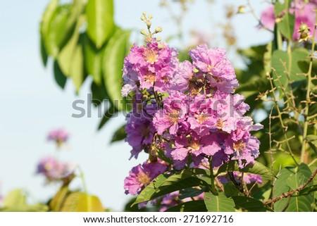 Lagerstroemia floribunda flower, Purple flower background. - stock photo