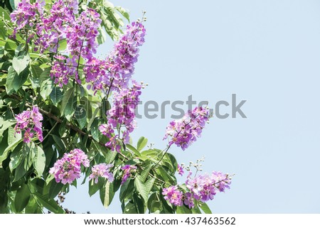 Lagerstroemia flowers with blue sky, Thailand - stock photo