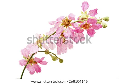 Lagerstroemia isolated on white background