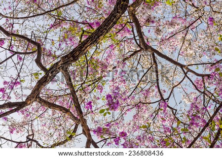 Lagerstroemia speciosa tree with pink flowers - stock photo