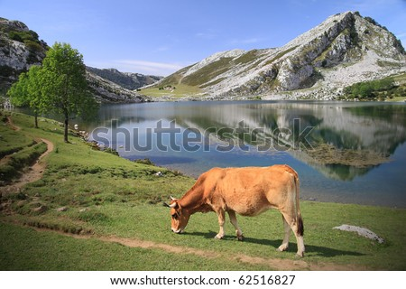"Lago Enol near Covadonga in Asturias - Spain - natural reservation and famous park ""Picos de Europa"" - Cow grazing at water's edge"