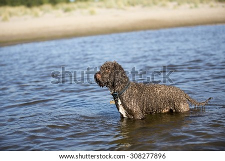 Lagotto romagnolo is sitting in the sea at the beach. Image taken during sunset.The dog's breed is also known as Italian waterdog.