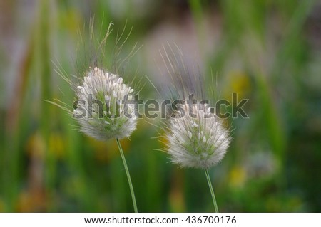 Lagurus ovatus, Hare's Tail Grass, Bunny-tail, native to the shores of the Mediterranean region, used in gardening as ornamental grass, dried foliage used in decorative work
