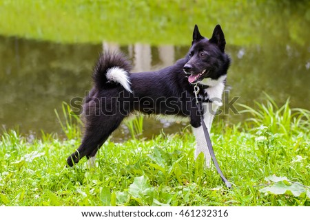 Laika dog for hunting wild fowl and animals, husky dog standing on meadow. Exhibition Stand dogs. Beautiful dog on a walk.