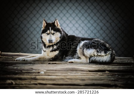 Laika refers to a type of hunting dog of Northern Russia and Russian Siberia, and is a generic name for several breeds. - stock photo