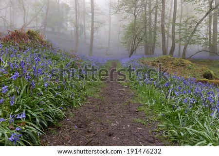 Lake District (UK) bluebell wood in the rain and mist - stock photo