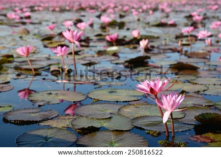 Lake of red water lily in Nong Han, Udon Thani, Thailand - stock photo