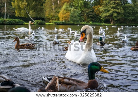 Lake with swans and ducks in the water - stock photo