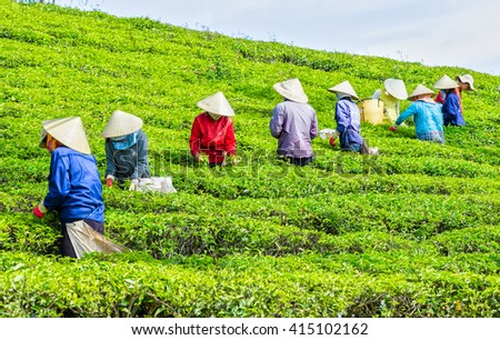 Lam Dong, Vietnam - 3rd March, 2016: Collective labor farmers picking tea horizontal uses hands to gather harvest tea leaves to factory hill in the morning plateaus Lam Dong, Vietnam - stock photo