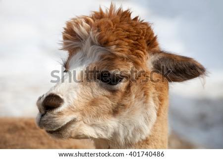 lama alpaca head close up - stock photo