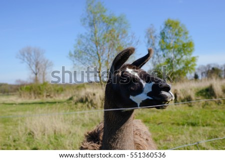 Lama animal graze in the meadow with wire fence