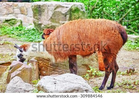 Lama in his natural habitat. - stock photo