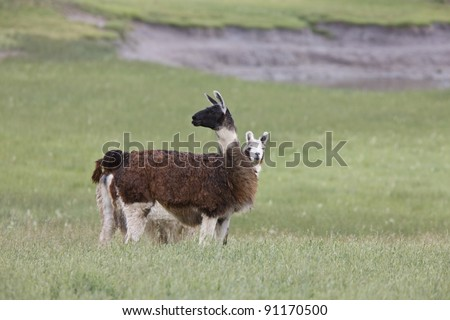 Lama in Saskatchewan field - stock photo