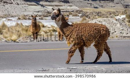 LAMA, PERU - CIRCA MARCH 2014: Lama Crossing the Street - stock photo