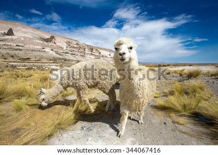 lamas in Andes,Mountains, Peru - stock photo