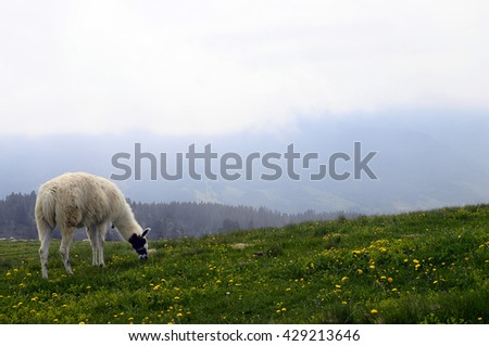 Lamas on Semnoz alpine fields in Savoy, France