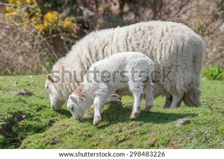 lamb and sheep grazing in springtime sunshine - stock photo