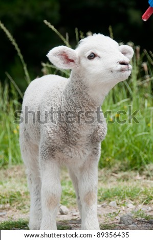 Lamb awaiting feeding with bottle of milk - stock photo